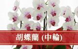 胡蝶蘭(中輪)
